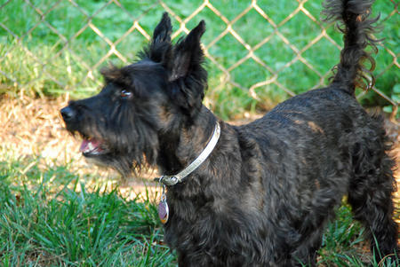 Bella Rose the Scottish Terrier Pictures 143061