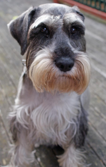 Ellie the Schnauzer Pictures 334523