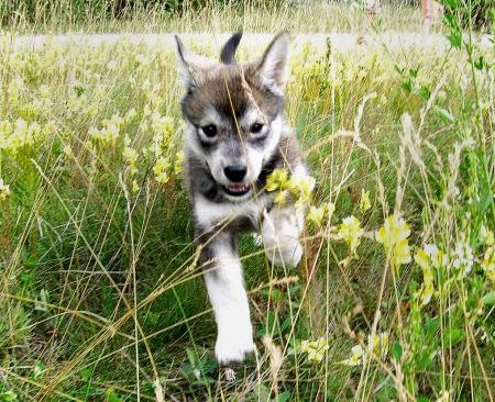 Anuuk the Husky Mix Pictures 251443