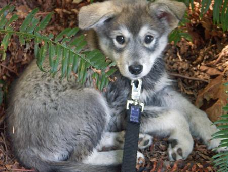 Anuuk the Husky Mix Pictures 251444