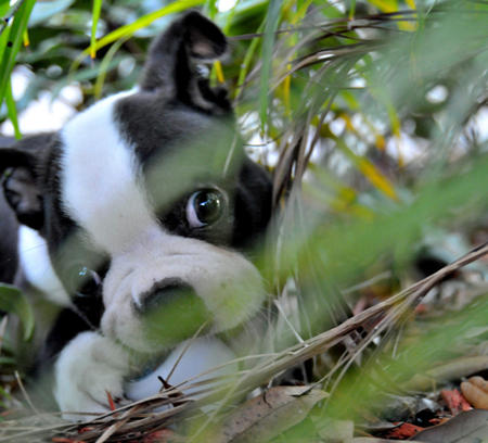 Winston the Boston Terrier Pictures 172408