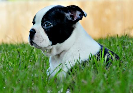 Winston the Boston Terrier Pictures 172402