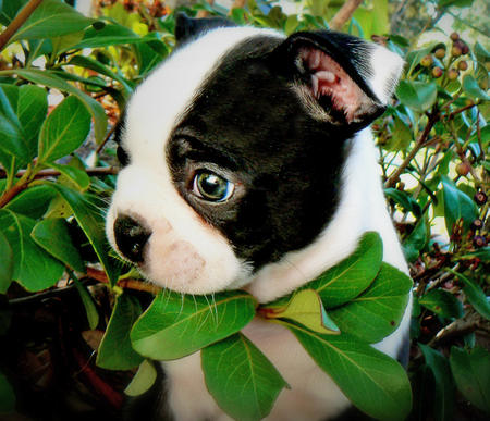 Winston the Boston Terrier Pictures 172400