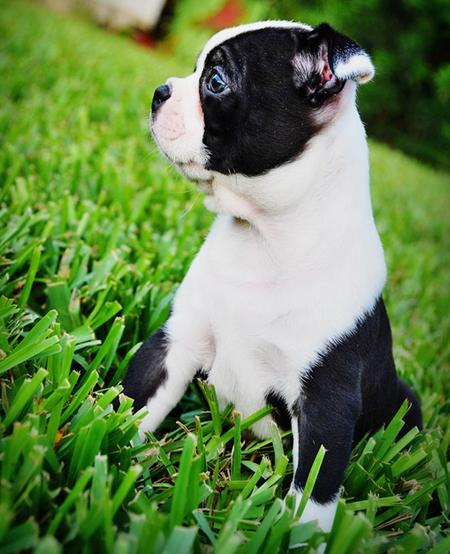 Winston the Boston Terrier Pictures 172405