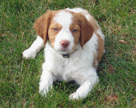 Roma the Brittany Spaniel Pictures 192172