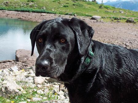 Cheyenne the Labrador Retriever Pictures 152239