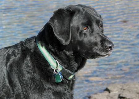 Cheyenne the Labrador Retriever Pictures 152241
