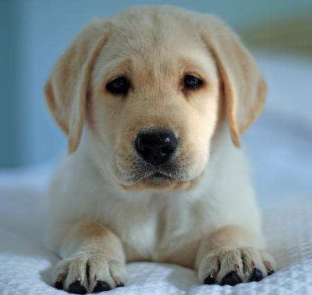 Harry the Labrador Retriever | Puppies | Daily Puppy