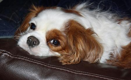 Oliver the Cavalier King Charles Spaniel Pictures 293912