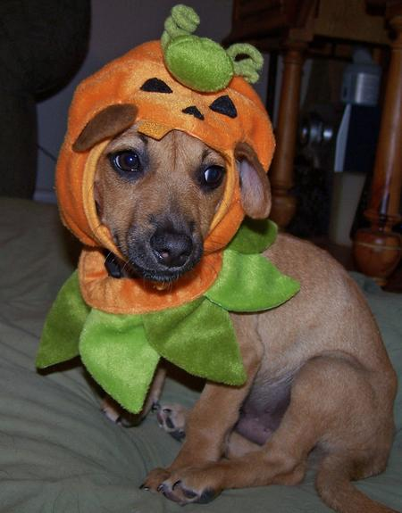 Happy Howl-a-ween Puppies Pictures 150965