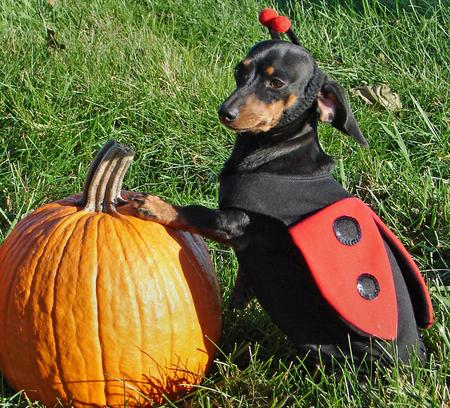 Happy Howl-a-ween Puppies Pictures 150958
