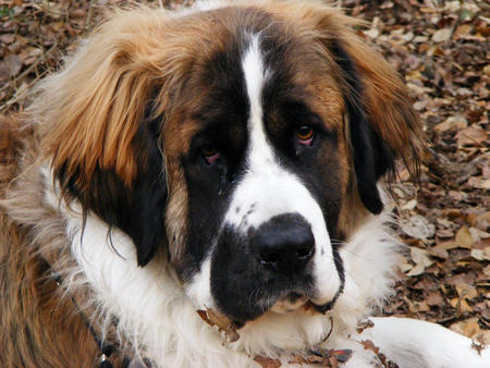 Bonnie Lou the Saint Bernard Pictures 152633