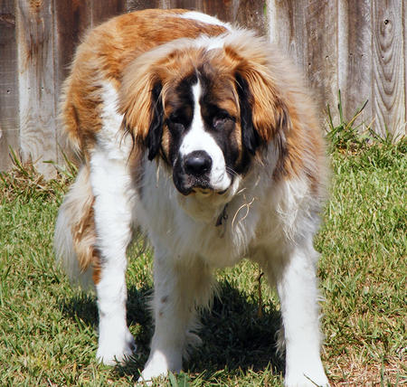 Bonnie Lou the Saint Bernard Pictures 152637