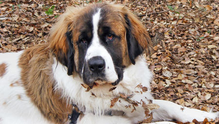 Bonnie Lou the Saint Bernard Pictures 152631