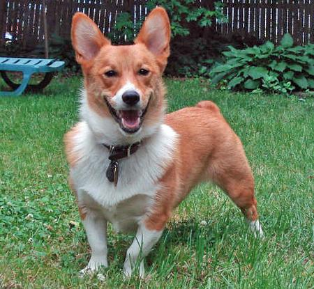 Norton the Corgi Pictures 331679