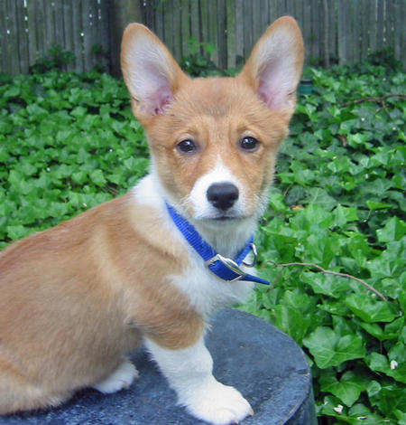 Norton the Corgi Pictures 331678