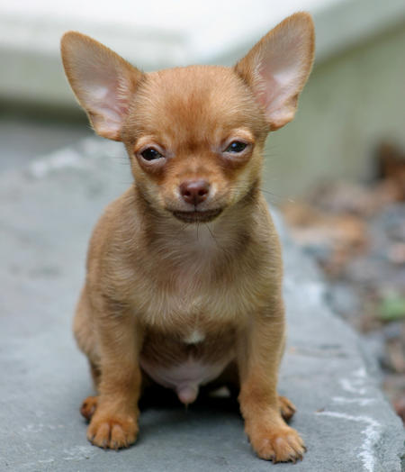 Cody the Chihuahua Pictures 154739