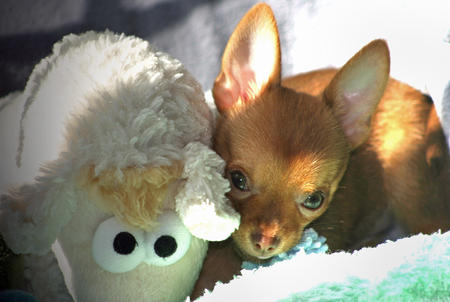 Cody the Chihuahua Pictures 154736