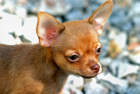 Cody the Chihuahua Pictures 154737