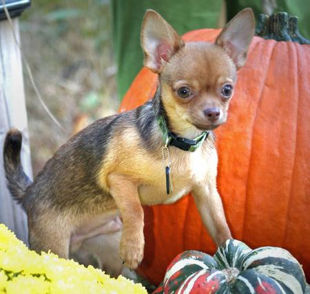 Cody the Chihuahua Pictures 154734