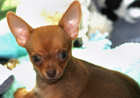Cody the Chihuahua Pictures 154743