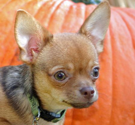 Cody the Chihuahua Pictures 154733