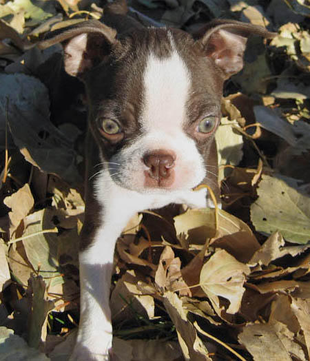 Hope the Boston Terrier Pictures 156709