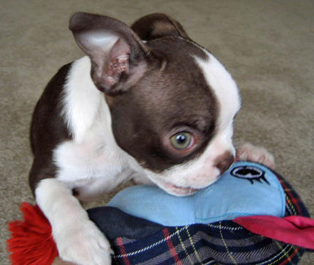 Hope the Boston Terrier Pictures 156700