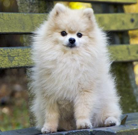 Tommy the Pomeranian Pictures 155518