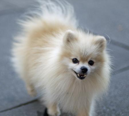Tommy the Pomeranian Pictures 155517