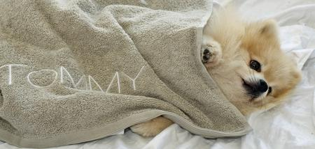 Tommy the Pomeranian Pictures 155516