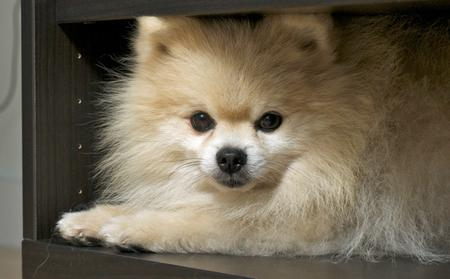 Tommy the Pomeranian Pictures 155515
