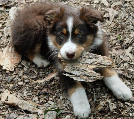 Sadie the Australian Shepherd Pictures 156214