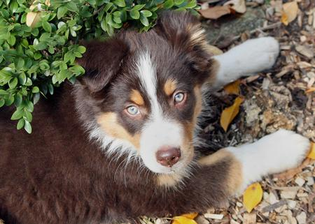 Sadie the Australian Shepherd Pictures 156217