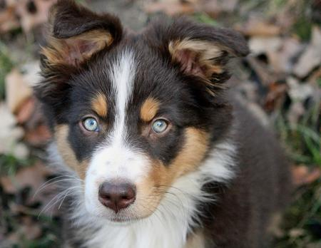 Sadie the Australian Shepherd Pictures 156220
