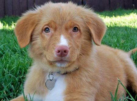 Donald the Duck Tolling Retriever  Pictures 157323