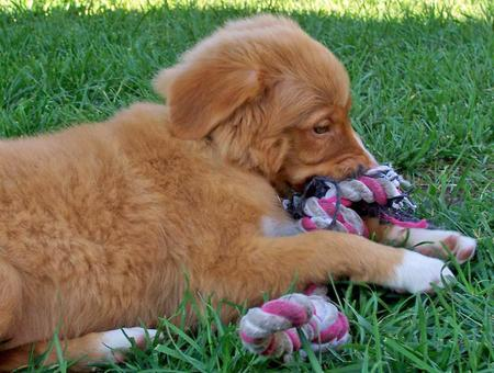 Donald the Duck Tolling Retriever  Pictures 157321