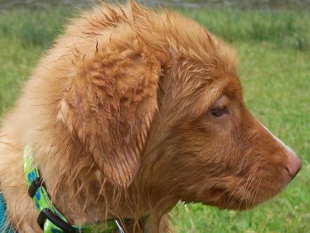 Donald the Duck Tolling Retriever  Pictures 157319