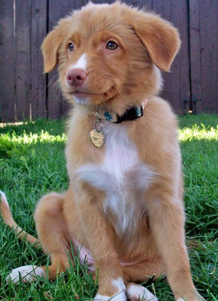 Donald the Duck Tolling Retriever  Pictures 157317