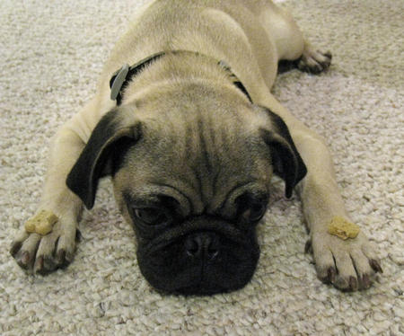 Poirot the Pug Pictures 158591