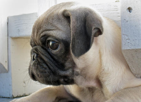 Poirot the Pug Pictures 158589