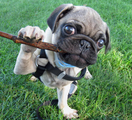 Poirot the Pug Pictures 158590