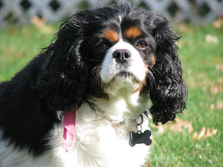 Pebbles the Cavalier King Charles Spaniel  Pictures 160832