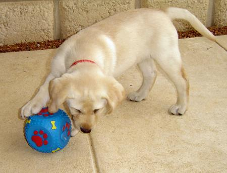 Rosie the Labrador Retriever Pictures 165886