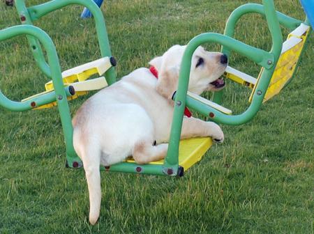 Rosie the Labrador Retriever Pictures 165885