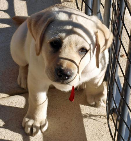 Rosie the Labrador Retriever Pictures 165884