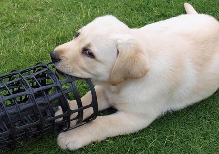 Rosie the Labrador Retriever Pictures 165883