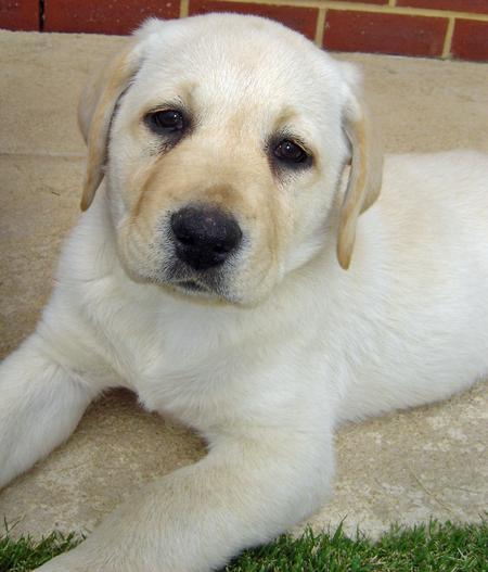 Rosie the Labrador Retriever Pictures 165879