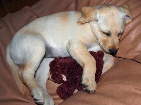 Rosie the Labrador Retriever Pictures 165878