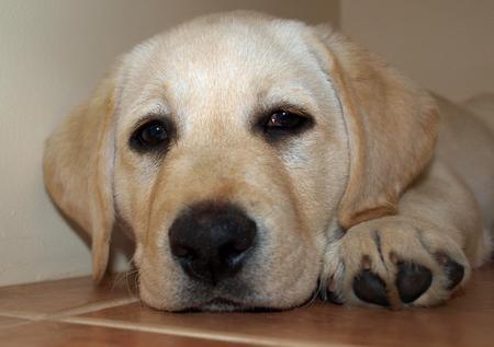 Rosie the Labrador Retriever Pictures 165877